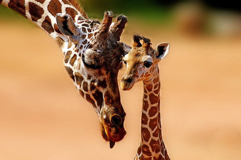 Giraffe_family_by_valkyrjan